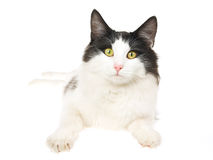 Norwegian Forest Cat on white background Royalty Free Stock Images