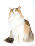 Norwegian Forest Cat on white background Royalty Free Stock Image