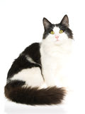 Norwegian Forest Cat on white background. Show champion black and white Norwegian Forest Cat, on white background royalty free stock image
