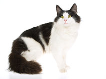 Norwegian Forest Cat, on white background. Show champion black and white NFC Norwegian Forest Cat, on white background stock image