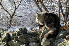 Norwegian Forest Cat. A Norwegian Forest Cat in Winter stock photography