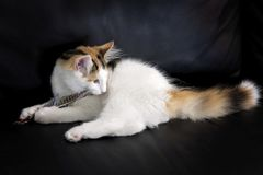 Norwegian forest cat. Young Norwegian forest kitten playing with a feather on a black background stock image