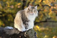 Norwegian forest female on a log Stock Photo