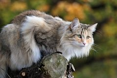Norwegian forest female on a log Royalty Free Stock Images