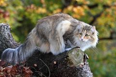 Norwegian forest female on a log Royalty Free Stock Photo