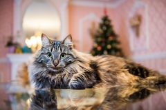 Norwegian forest fluffy cat portrait inside interior. Norwegian forest cat portrait with bigfluffy muzzle inside interior house royalty free stock image