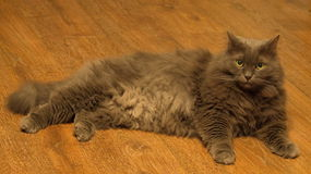 Norwegian Forest grey housecat Stock Photography