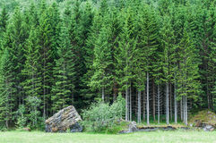 Norwegian forest. Forest in the Norwegian region Sogn og Fjordane Stock Images
