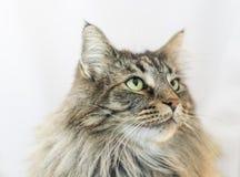 Norwegian forests cat. A  Norwegian forests cat , brown mackerel tabby Stock Image
