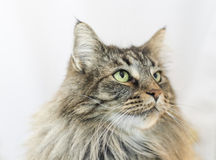 Norwegian forests cat Stock Image