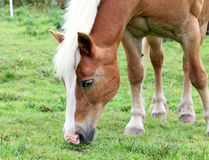 Norwegian horse or fjord horse in a meadow Stock Photography