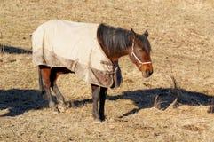 Norwegian horse Royalty Free Stock Photos