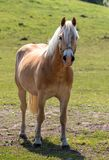 Norwegian horse in the pasture Stock Images