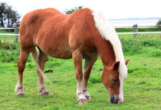 A Norwegian horse portrait Royalty Free Stock Image