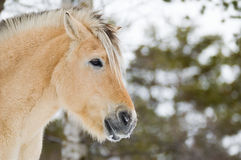 Horse in Norway Royalty Free Stock Images