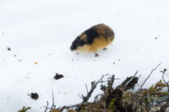 Norwegian lemming on snow. Norwegian lemming, Lemmus lemmus, on snow. In the Swedish fell tundra of Jaemtland stock photography