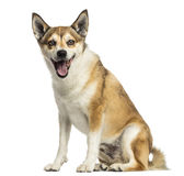 Norwegian Lundehund panting, sitting, isolated Stock Photography