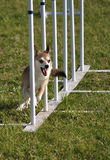 Norwegian Lundehund weave poles at agility trial. Norwegian Lundehund  weaving through weave poles at dog agility trial, copy space Stock Photos