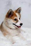Norwegian lundhund dog Royalty Free Stock Photos