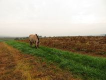 Norwegian mare grazes on way. Norwegian mare grazes free on way Royalty Free Stock Photography