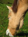Norwegian mare grazing. Closeup of the head Stock Images