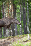 Norwegian Moose Royalty Free Stock Photo