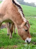Norwegian Norwegian mare grazes freely on a hill. Norwegian mare grazes freely on a hill beside a small road Royalty Free Stock Photo