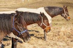 Norwegian quiet brown horses Stock Images
