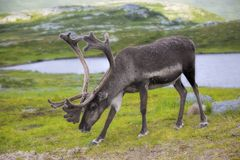 Norwegian reindeer Royalty Free Stock Image