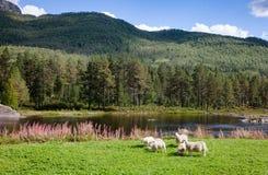 Free Norwegian Rural Landscape With Grazing Free Range Sheep Royalty Free Stock Image - 137745016