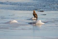 Norwegian Sea Eagles stock photo