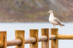 Norwegian seagull, gull, norway, europe, lofots, lofoten, Á, rorbuer royalty free stock images