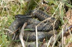 Norwegian snake. Norwegian poisonous snake stock photo