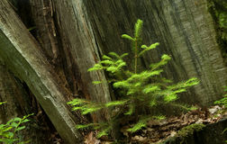 Norwegian spruce seedling Royalty Free Stock Images