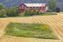 Norwegian traditional farm house and wheat field in the countrys Royalty Free Stock Photos