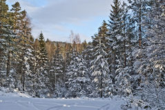 Norwegian wood. (2). Forests at Aremark in Halden municipality Royalty Free Stock Photos