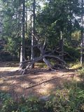 Norwegian woods. Plant and trees in the Woods of lillestrøm stock photography