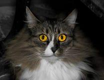 Norwegische forrest Katze stockbild