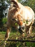 Norwegische Pferdestute lizenzfreie stockfotografie