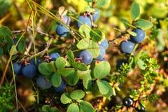 Norwegische Schellbeeren Essbare Beere Lizenzfreie Stockfotos