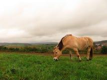 Norwegische Stute, die nahe bei einem Feld in einer Wiese weiden lässt stockbild