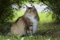 Norwegische Waldkatzenfrau sitzt unter den Büschen Lizenzfreies Stockbild