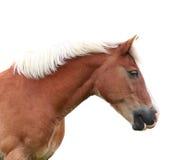 Norwegischer Fjord horse Lizenzfreie Stockfotografie