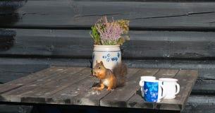 Norwegisches Eichhörnchen draußen Stockfotografie