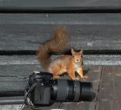 Norwegisches Eichhörnchen draußen Lizenzfreies Stockfoto