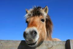 Norwegisches Fjord-Pferd lizenzfreie stockfotografie