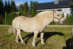 Norwegisches Fjordpferd u. x28; auf Norwegisch: fjording& x29; Lizenzfreies Stockbild