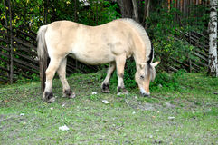 Norwegisches Pferd Stockfoto