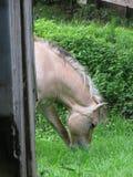 Norwegisches Pferd entspannt sich hinter einer hölzernen Hütte stockbilder