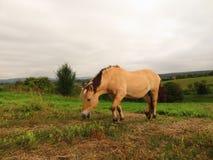 Norwegisches Pferd geben frei stockbild